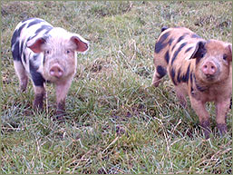 Rare Breed Pigs